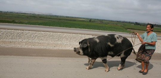 Peruvian pigs may be used as horses