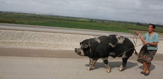 Peruvian pigs may be used as horses