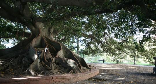 Spectacular trees in Recoleta