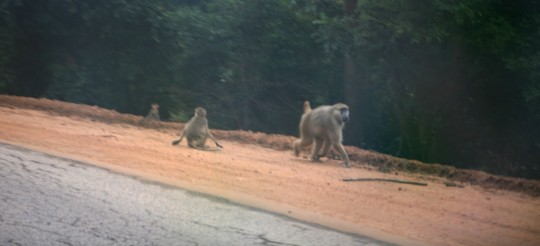 Baboons on the road. They move fast and are hard to photograph.