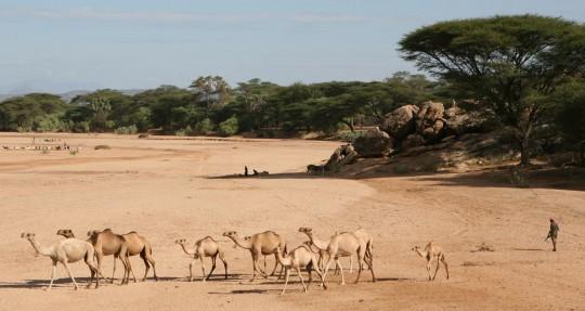 In Northern Kenya, Samburu walk their herds of camels.