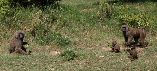 Baboons along the road.