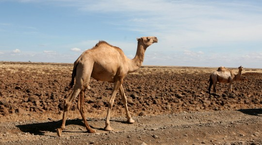 I share the road with camels.