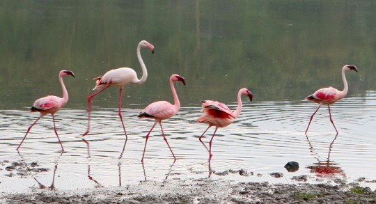 Flamingoes on the shore of the lake.