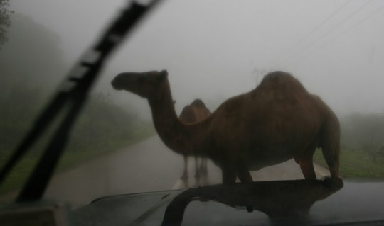Still foggy in the morning, and camels are looking for trouble.